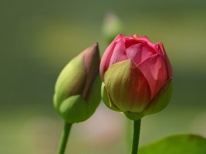 flower-bud_beginning